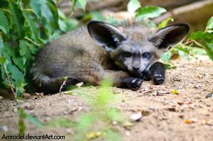Baby Bat-eared Fox by amrodel