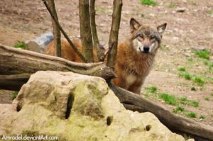 Shy Wolf by amrodel