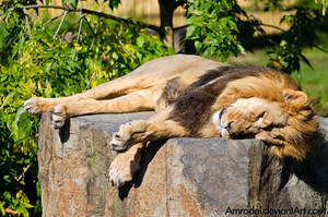 Dreaming Lion by amrodel
