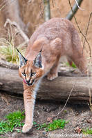 Caracal: On Hunt by amrodel