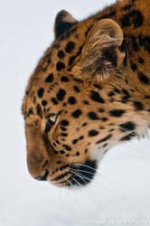 Amur Leopard IV by amrodel
