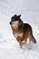 Running in Snow by amrodel