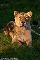 Lioness at Sunset by amrodel