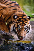 Thirsty Sumatran Tiger by amrodel