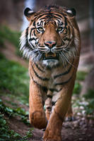Sumatran Tiger III by amrodel