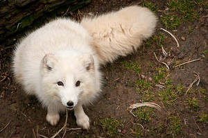 Curious Arctic Fox by amrodel