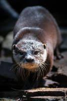 The Small Otter Approaches by amrodel