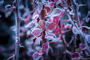 Frosted Leaves by amrodel