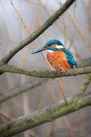 Uncommon Kingfisher II by amrodel