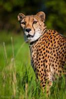 Sara the Cheetah by amrodel