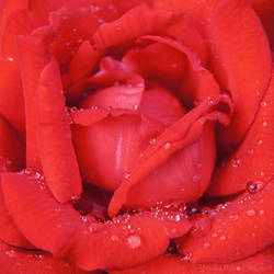 Red Rose by amrodel