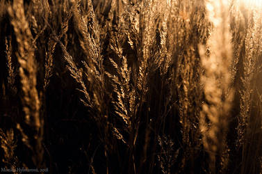Dry Grass II by amrodel