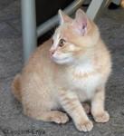 Cream colored kitten III by Leopard-Enya