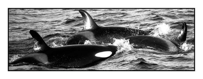 Orcinus orca by AnteAlien