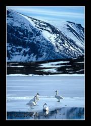 Swans by AnteAlien