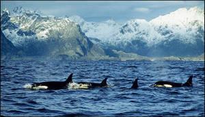 Killer Whales by AnteAlien
