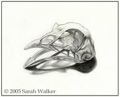 Pheasant Skull by dreamie