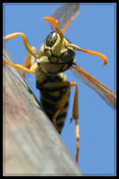 Surprised  Wasp by dogukan