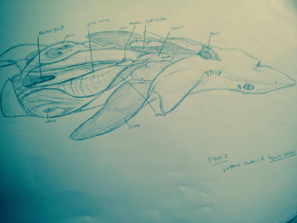 Internal Anatomy Of Spiny Dogfish Shark By Umbra Nine On Deviantart