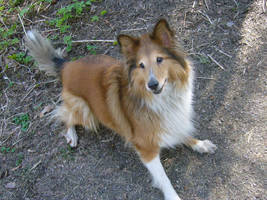 Sheltie by Scheq