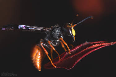 Potter Wasp (Paralastor sp) by RDography