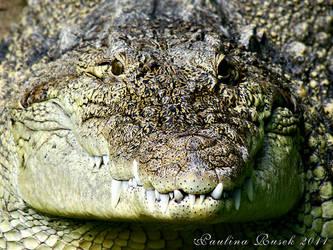 Alligator by Lamia86