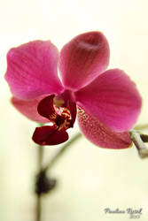 Orchid by Lamia86