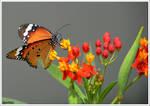 Monarch butterfly by KlaraDrielle