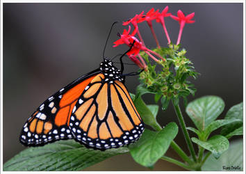 Butterfly dance by KlaraDrielle