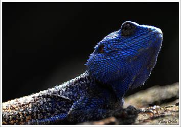 Lezard blue Swaziland by KlaraDrielle