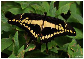 Papilio machaon by KlaraDrielle