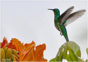 Hummingbird in Ecuador by KlaraDrielle