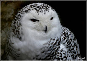 Snowy owl by KlaraDrielle
