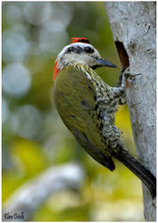 Green woodpecker by KlaraDrielle
