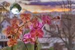phalaenopsis_jm0293 by joergens-mi