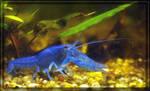 Blue Freshwater crustacean jm4388 by joergens-mi