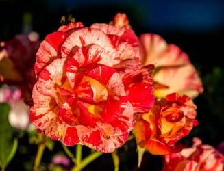 evening rose 02985 by joergens-mi