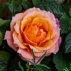 Rose jm28056 by joergens-mi