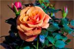 Rose_jm59462 by joergens-mi