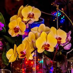 Phalaenopsis jm62316 by joergens-mi