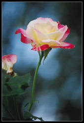 White and Dark Pink Rose - Blue Background by aquamyu