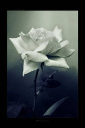 :: Rose :: by Liek