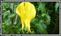 Chinese Lantern Stamp by jaynedarcy