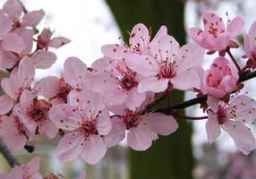 Cherry blossom by coshipi