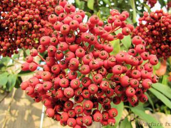 Winter Berries II by SteveMcClelland