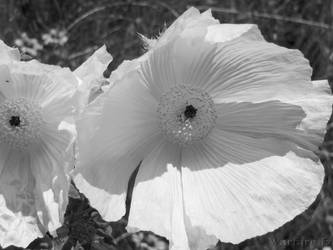 Prickly Poppy  BW by SteveMcClelland