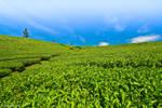 Tea plantations by eyesweb1