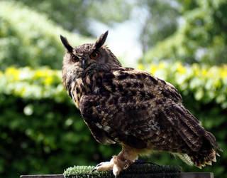 Eagle Owl by Enlothien