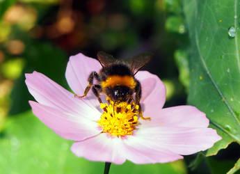 Cosmea with Bumblebee by Enlothien