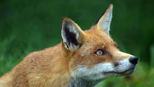 Fox by sugarmice86